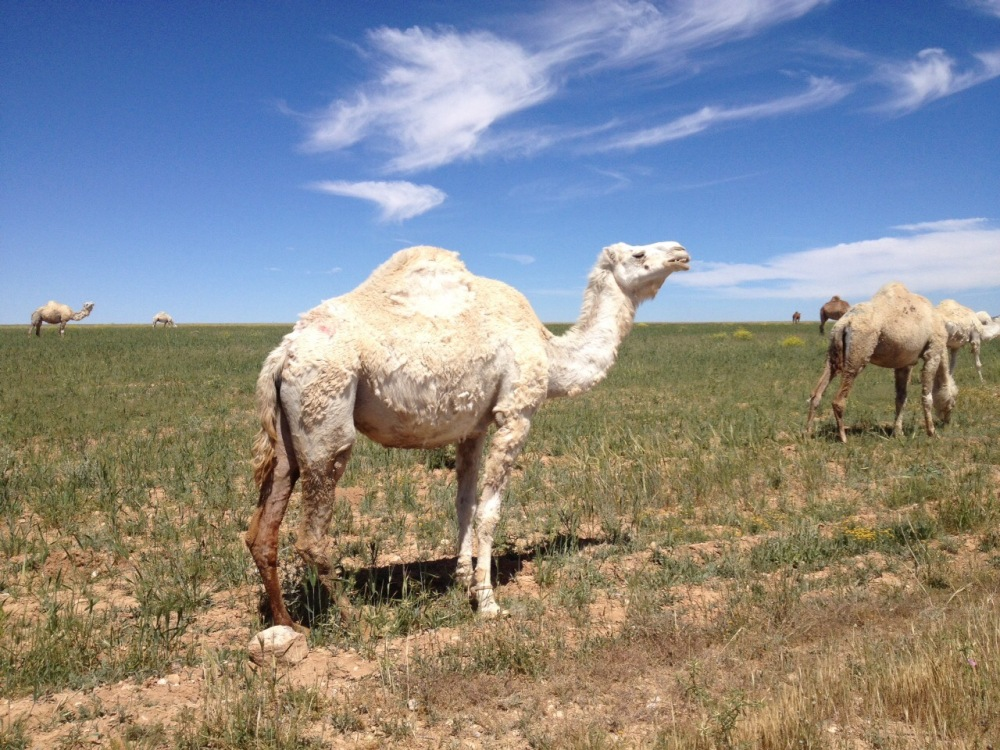 camel-in-jordan