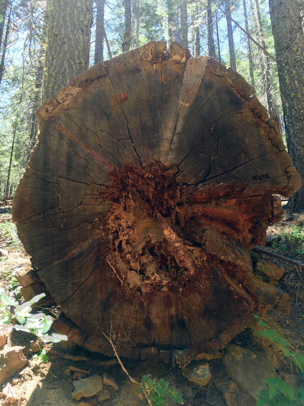 yosemite-ağaç-gövdesi