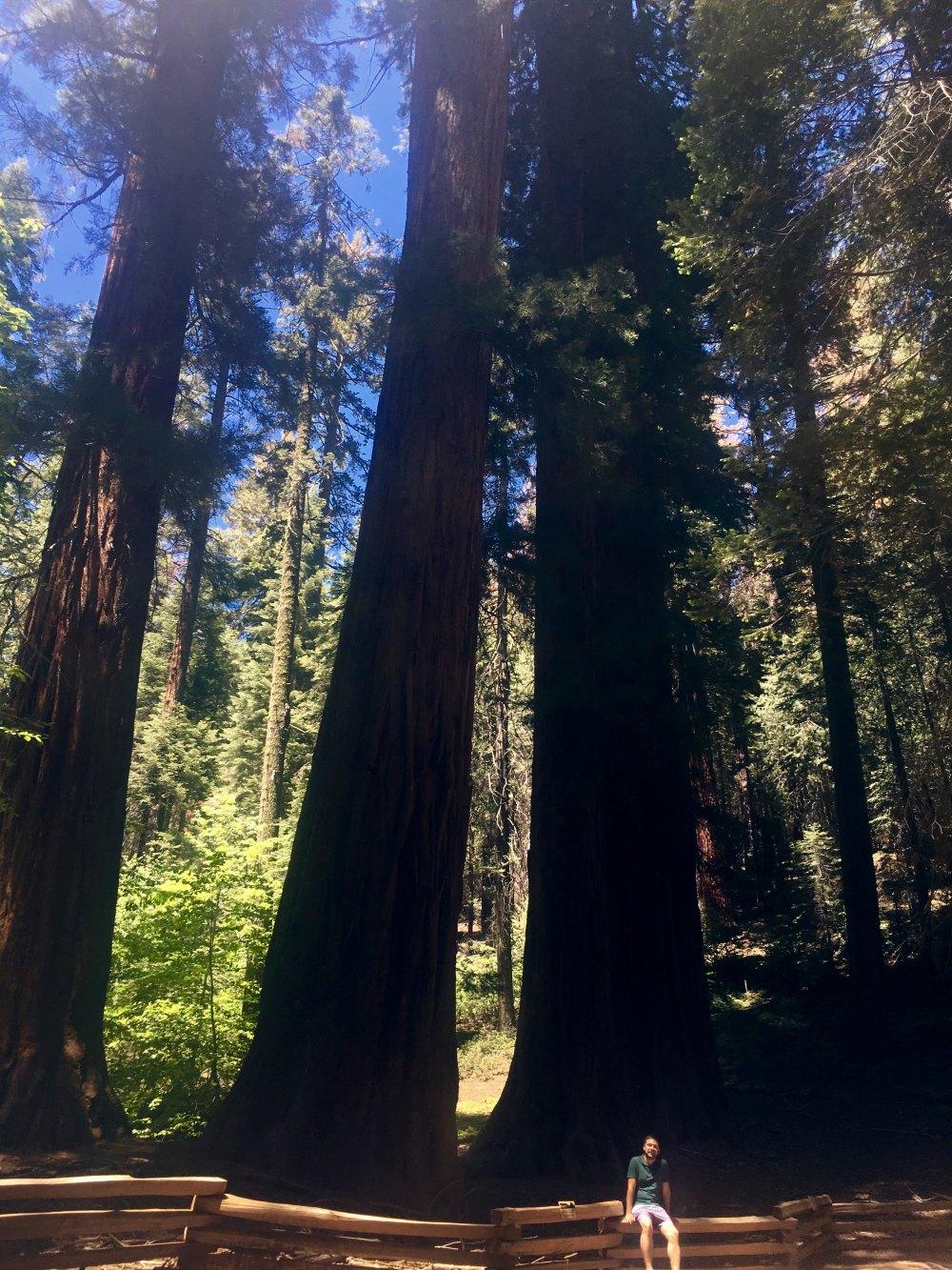 yosemite-sekoya-ağaçları-1