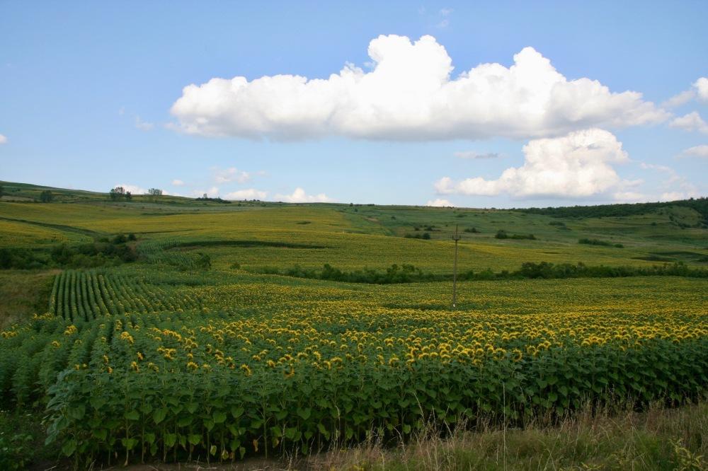 #romania #romanya #ayçiçeği #sunflowers